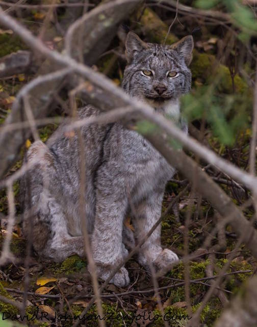 Lynx kitten by David Johnson.