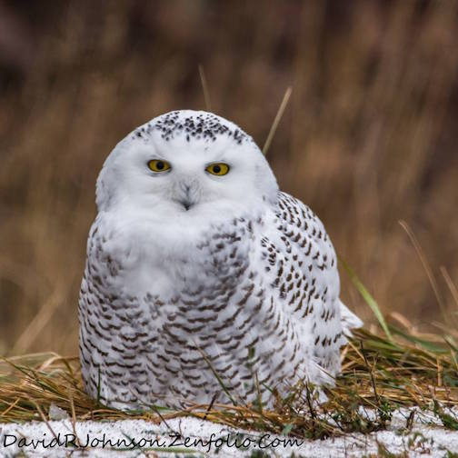 Eye-to-eye with a Snowy Owl by David Johnson.