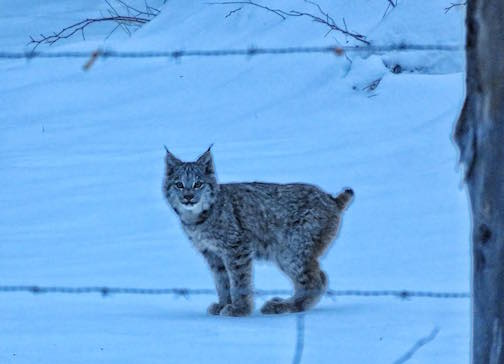 Young lynx stopped to watch me by Joan Berezowksi Young.