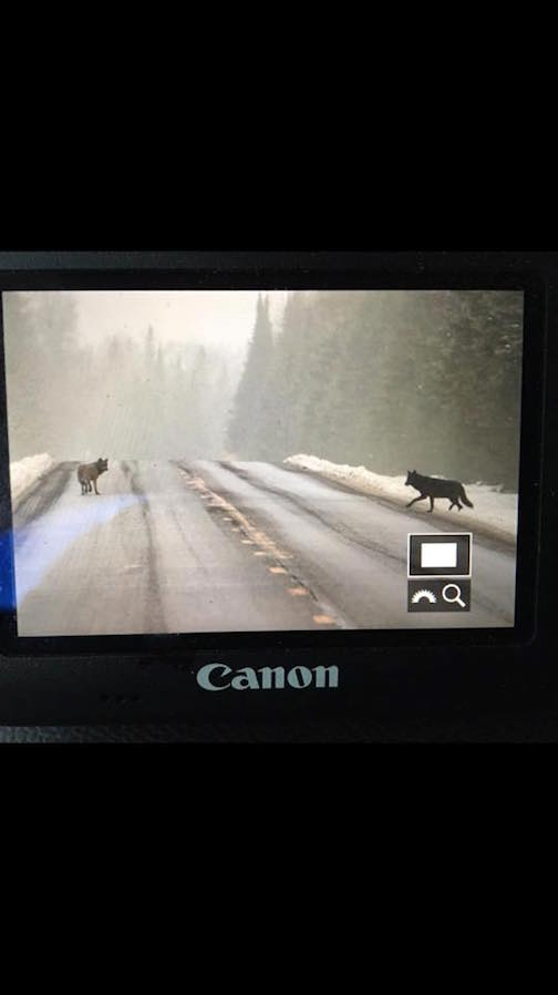 Back of my camera: wolves and fog near Grand Marais by Nace Hagemann.