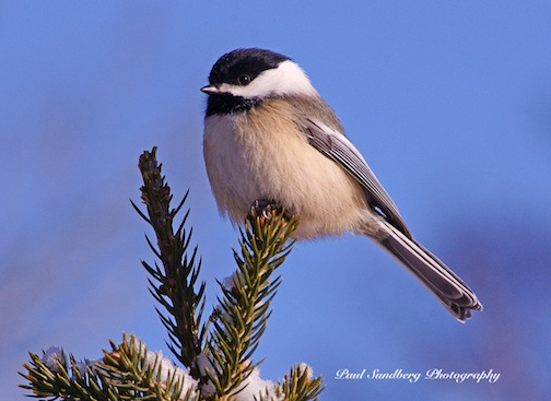 Chickadee by Paul Sundberg.