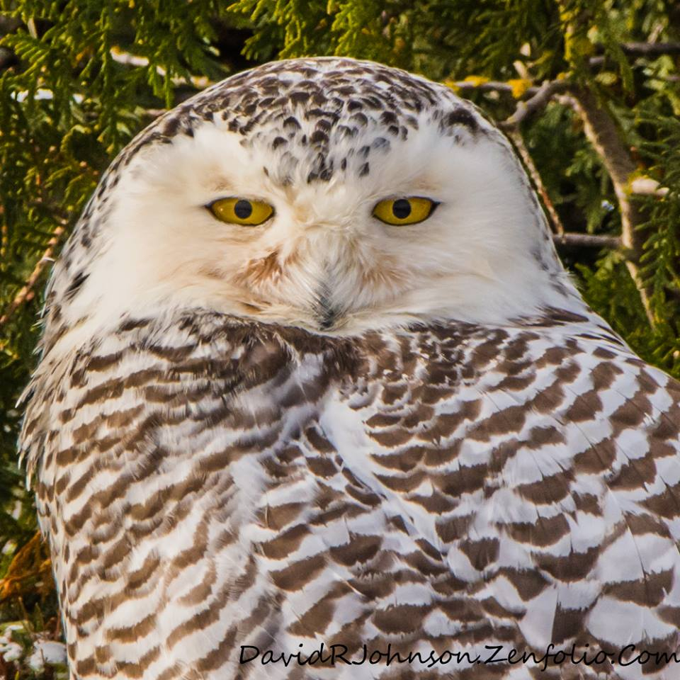 Another Snowy Owl. Love the Eyes by David Johnson.
