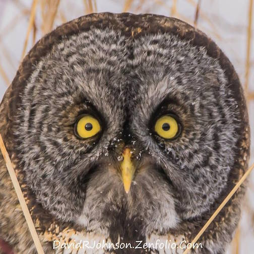 Great Gray Owl by David Johnson.