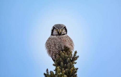 Northern Hawk Owl by Edward Lee.