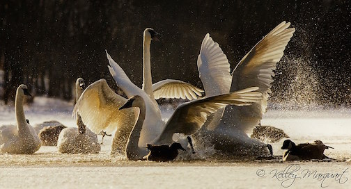 Swan Rumble by Kelly Marquart.