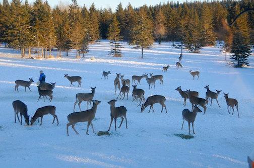 Sandra Updyke's deer yard.