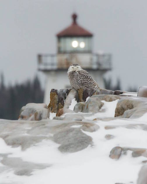 Thomas Spence caught this snowy owl hanging around the Grand Marais harbor the other day.