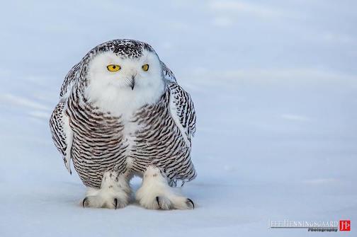 Snowy Owl by Jeff Henningsgaard.