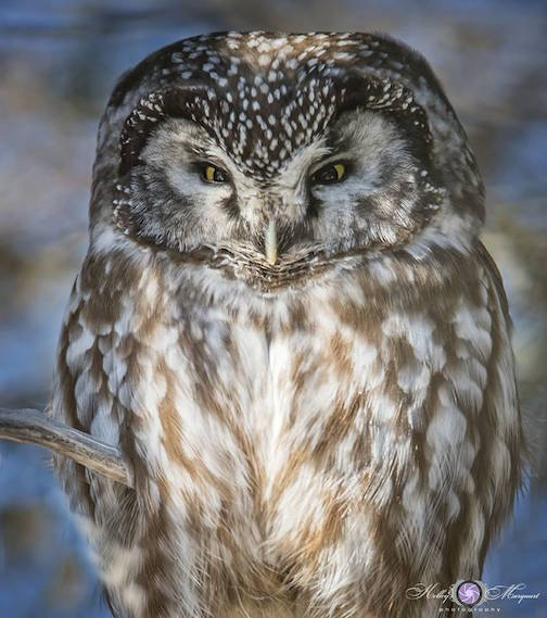 Boreal owl by Kelley Marquardt.