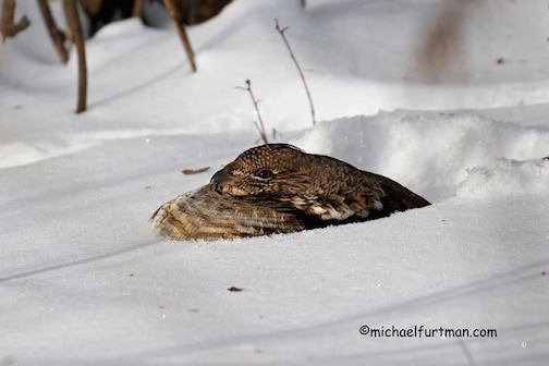 Grouse roosting in the snow by Michael Furtman.