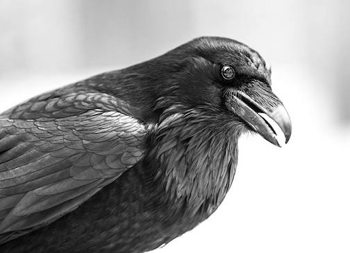 Raven by Sparky Stensaas.