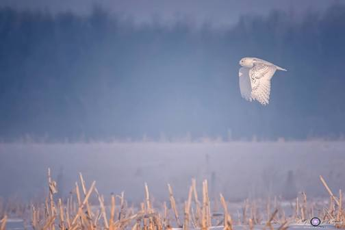 """A wonderful morning with fog, hoar frost and this beautiful snowy owl"" by Kelly Marquart."