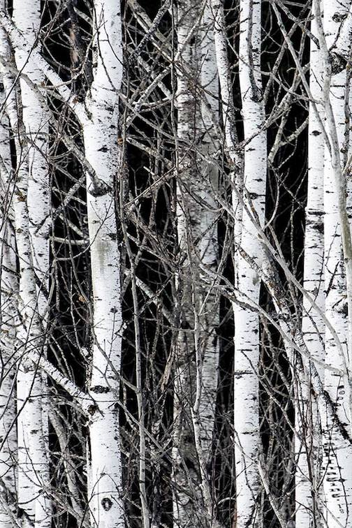 """Healthy Birch Trees"" by Kirck Schleife."