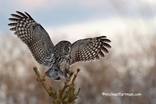 Great Gray Owl by Michael Furtman.