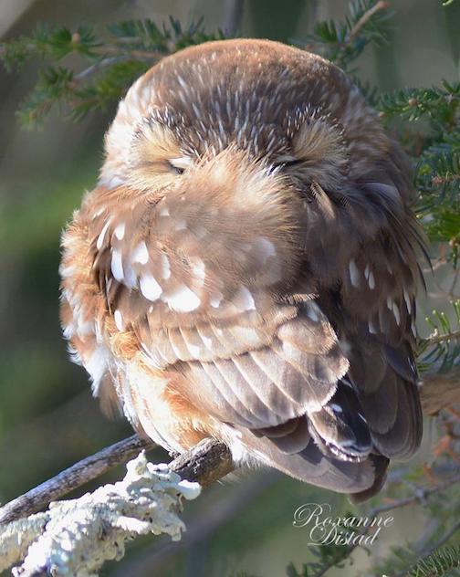 Brrrrr. Roxanne Distad caught this Saw-Whet Owl wrapping it's wings around itself, bundling up against the cold wind off Lake Superior.