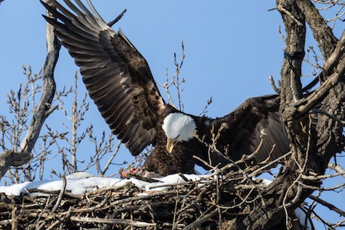 A male bald eagle delivers a fish to a DNR next site.