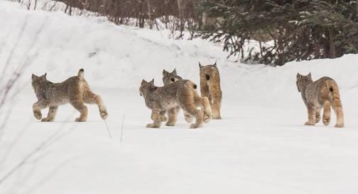 The lynx family.