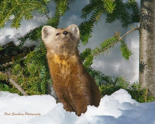 Pine Marten by Paul Sundberg.