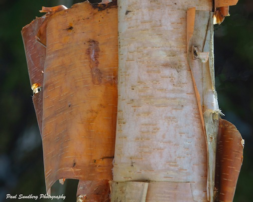 Paper Birch by Paul Sundberg.