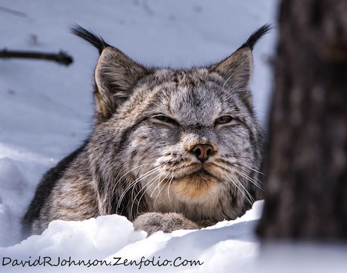 Big male lynx enjoying the warm afternoon by David Johnson.