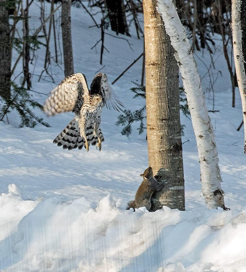 A great capture by Janet Frederick-Nelson Jarzhinski. This Cooper's Hawk almost got this squirrel.
