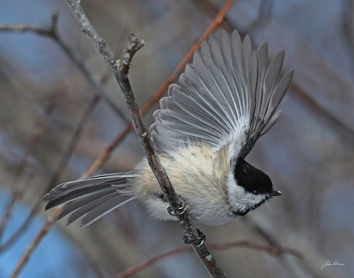 Black-capped Chickadee by John Heino.