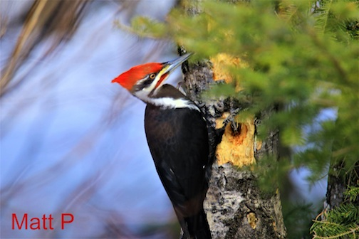 Plieated woodpecker by Matthew Pastick.