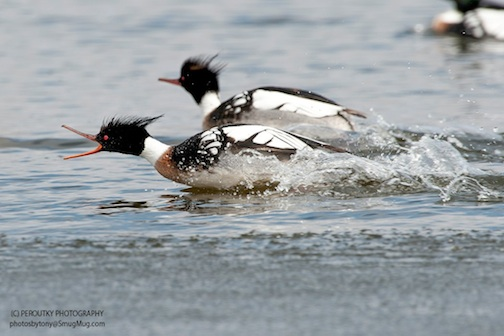 Red-breasted Mergansers having fun by Tony Peroutky.