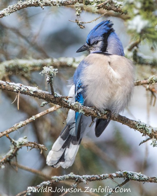 Early morning bluejay by David Johnson.