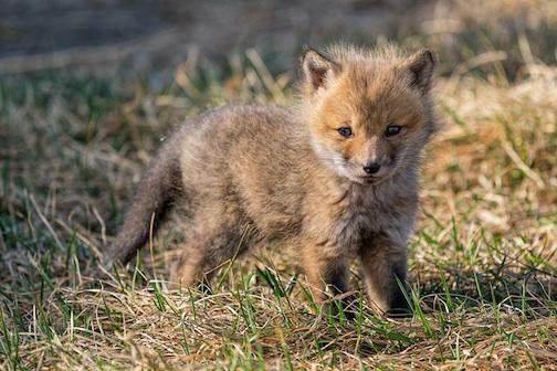Baby Fox by Schnortz.