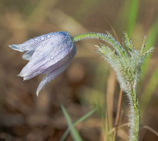 Pasque flower by Maia Cavelli.