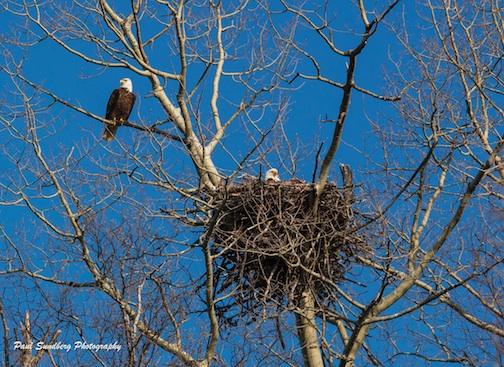 The eagles are nesting in Cook County! Paul Sundberg caught this pair the other day.