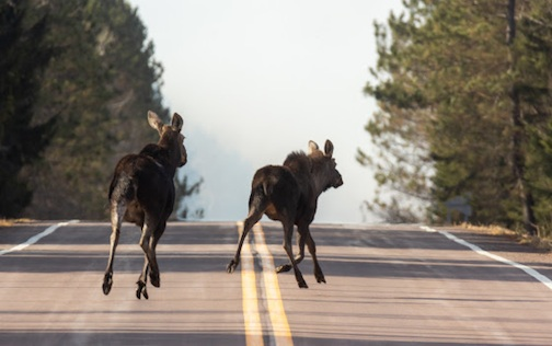 A pair of moose on the run in Cook County, by Thomas Spence.