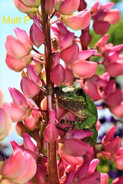 Tree frog on lupine by Matthew Pastick.