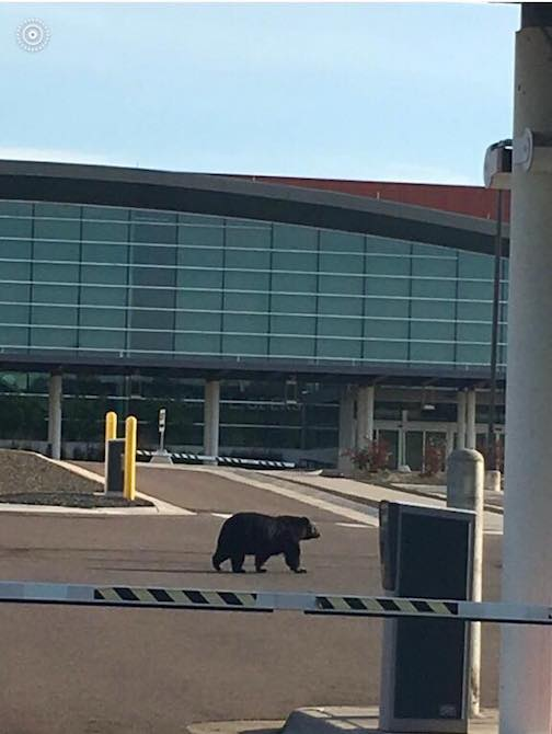 Caption this. Black bear walks through the Duluth International Airport.