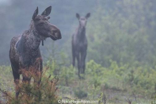 Moose on a foggy day by Nace Hagemann.