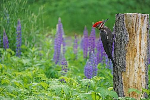 Lupines and Pileated woodpecker by Richard Hoeg.