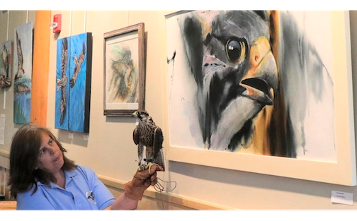 Jackie Fallon of the Midwest Peregrine Society compares a live falcon with a painting by Tim Pearson at Tettegouche State Park. The Peregrine exhibit continues through the end of June.