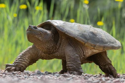 Female snapping turtle stalks off after laying her eggs beside the road by Thomas Spence.