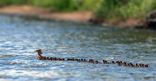 Babysitting 17 for friends in Lake Bimidji by Brent Cizek.