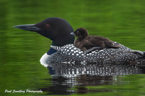 Loon Family by Paul Sundberg.