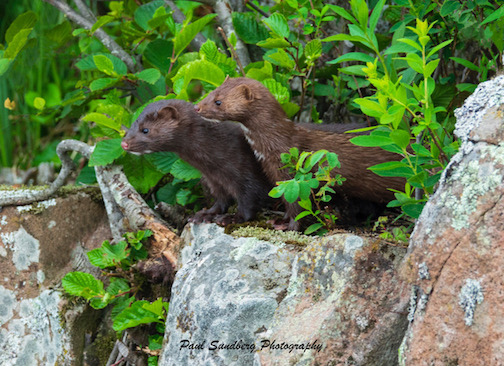 Young mink by Paul Sundberg.