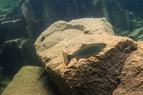 A trout explores a rock in the Grand Marais harbor. Photo by Christian Dalbec.