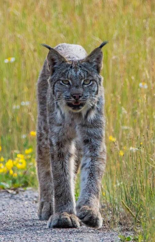 A warm day for a lynx by David Johnson.