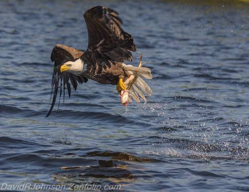 Bald eagle catches lunch by David Johnson.