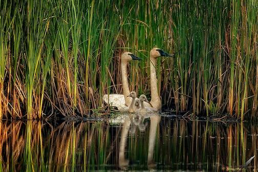 Swan parents with their baby by Matt Herberg.