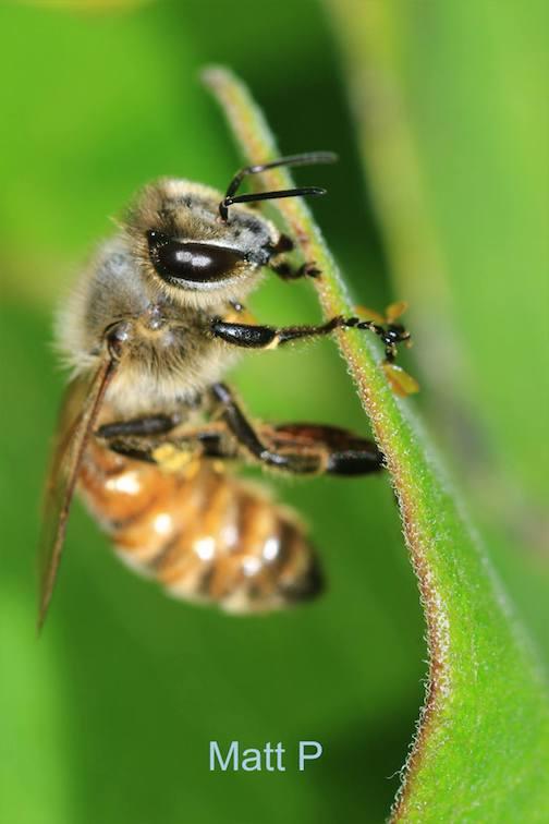 Honey Bee by Matt Pastick.