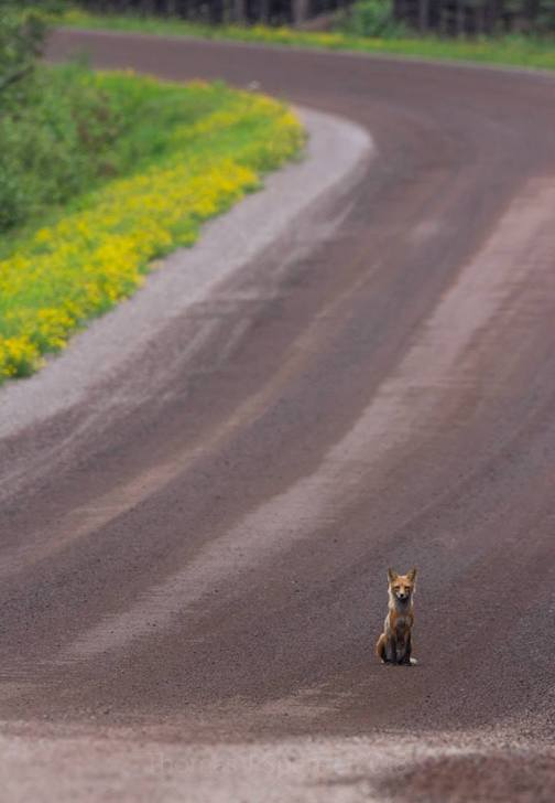 Sit. Stay. Red Fox, Superior National Forest by Thomas Spence.