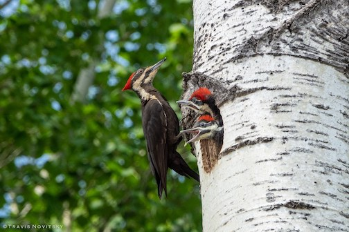 Pileated woodpecker with its young by Travis Novitsky.