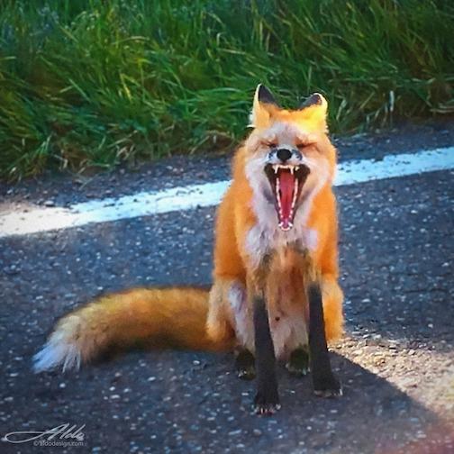 Fox yawn, or oh, what big teeth you have my dear, by Aldo Aberlleria.